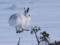 Mountain Hare Safari