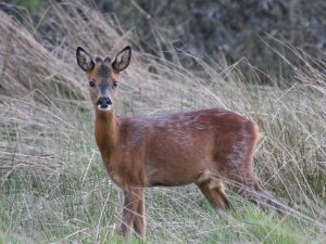 Yearling Roe Buck