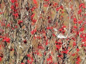 Fieldfare and Rowan berries