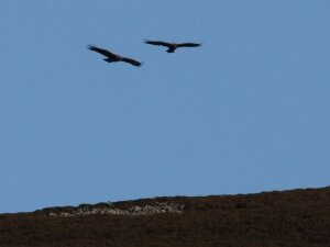 Golden Eagle over the Ladder Hills
