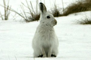 Mountain Hare in Glenlivet - Cairngorms National Park - Scotland