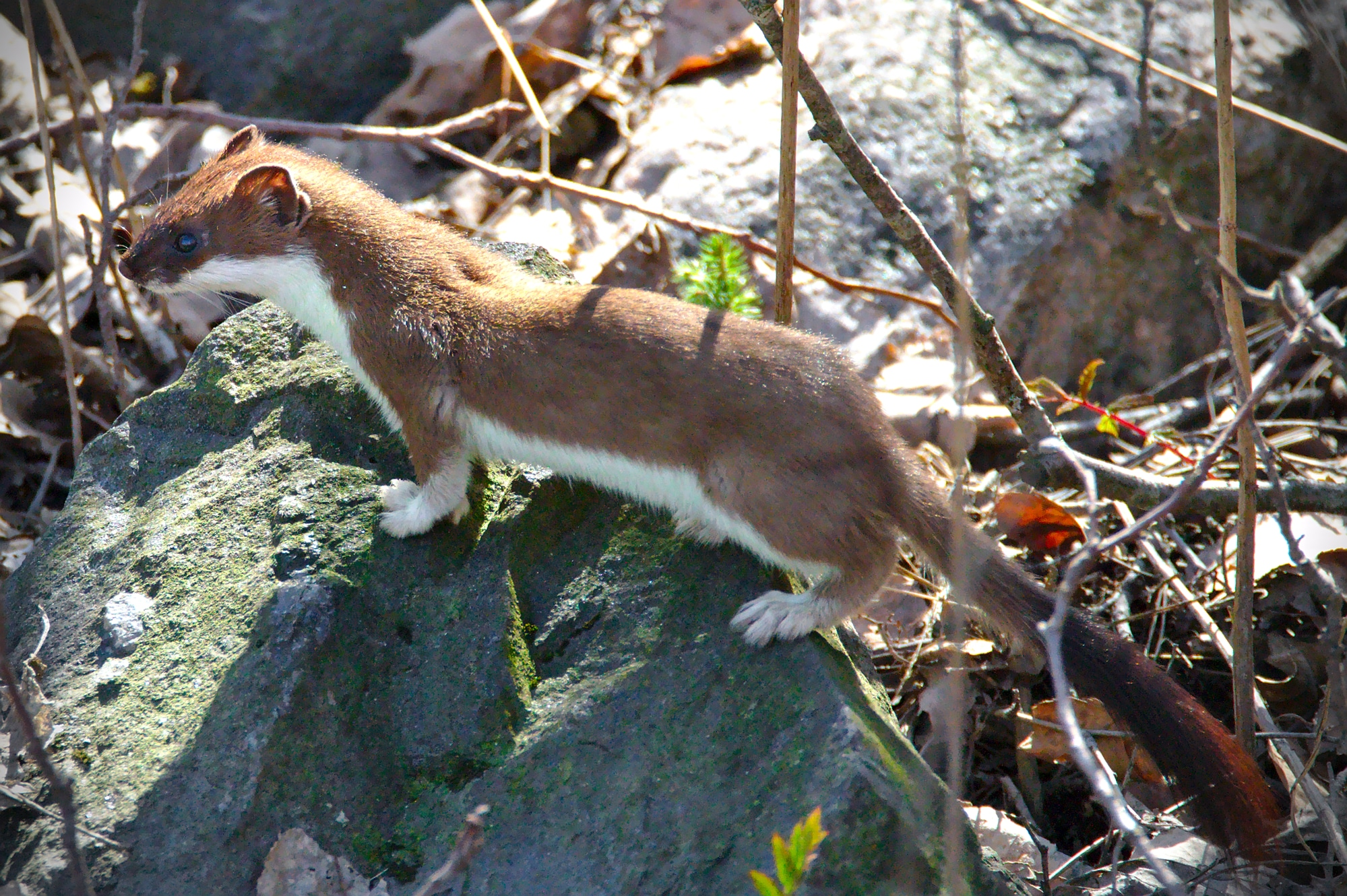 Brown and white furry weasel with a long tail