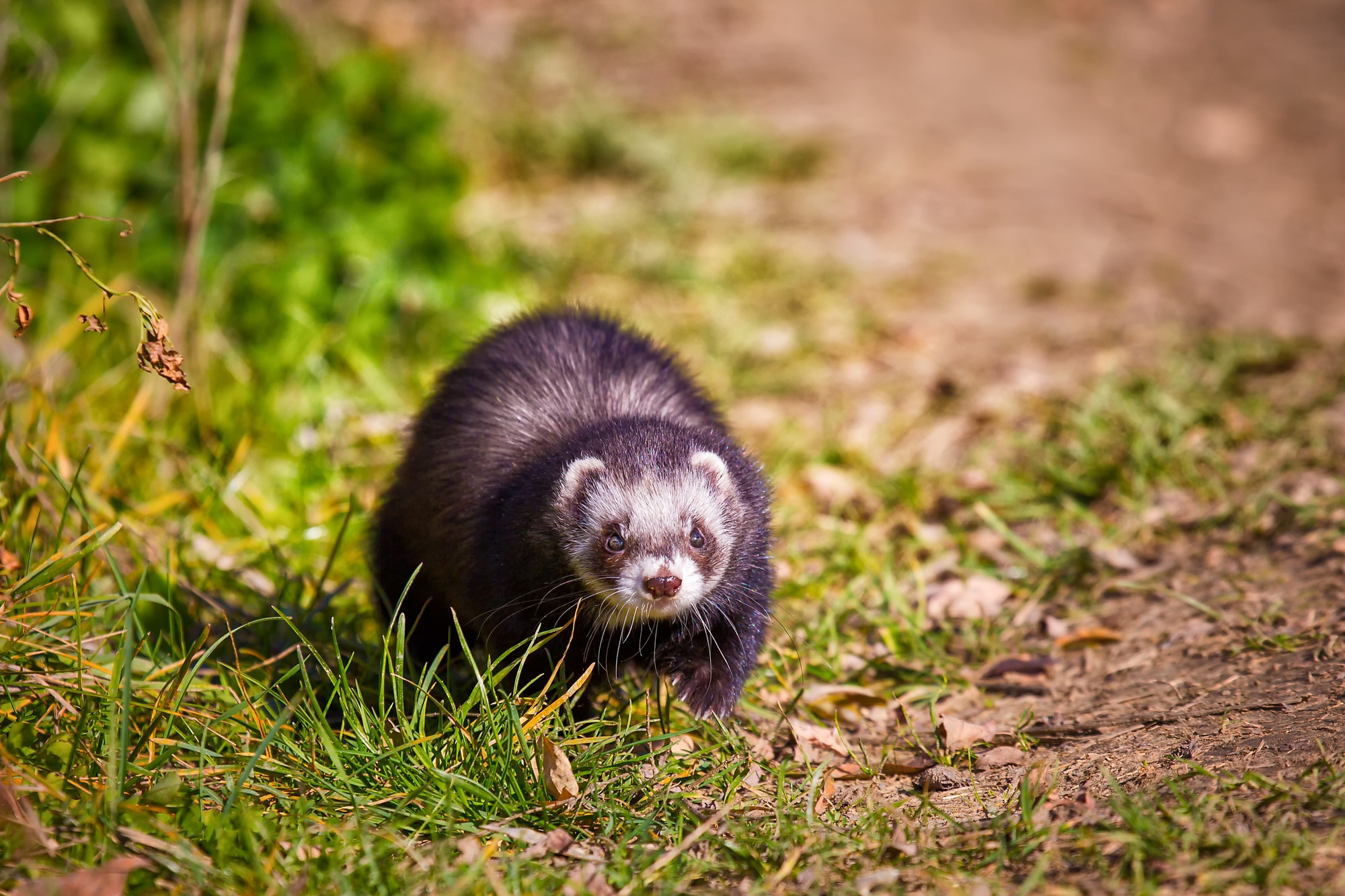 Young cute ferret walks in the park