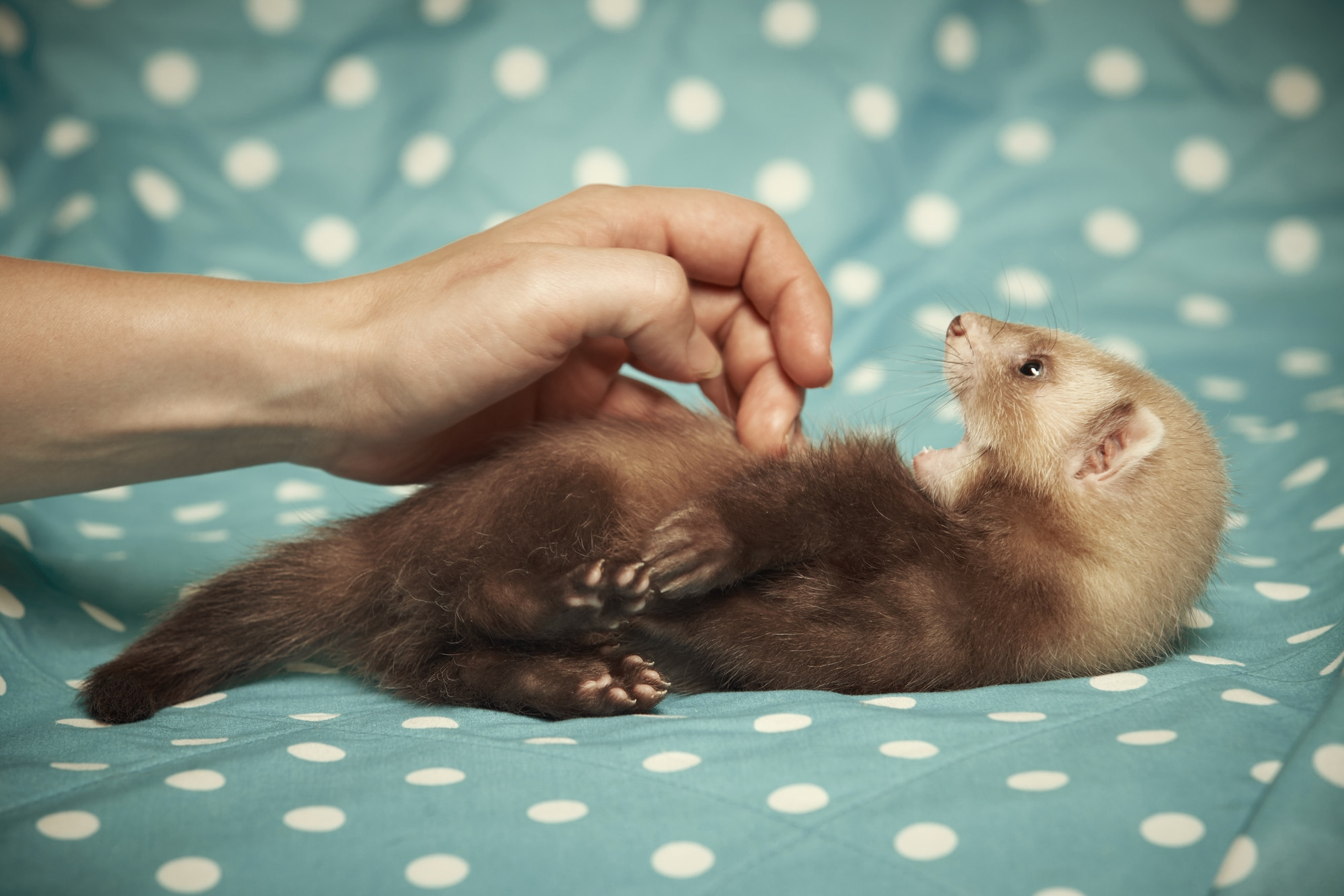 Playing with pet ferret