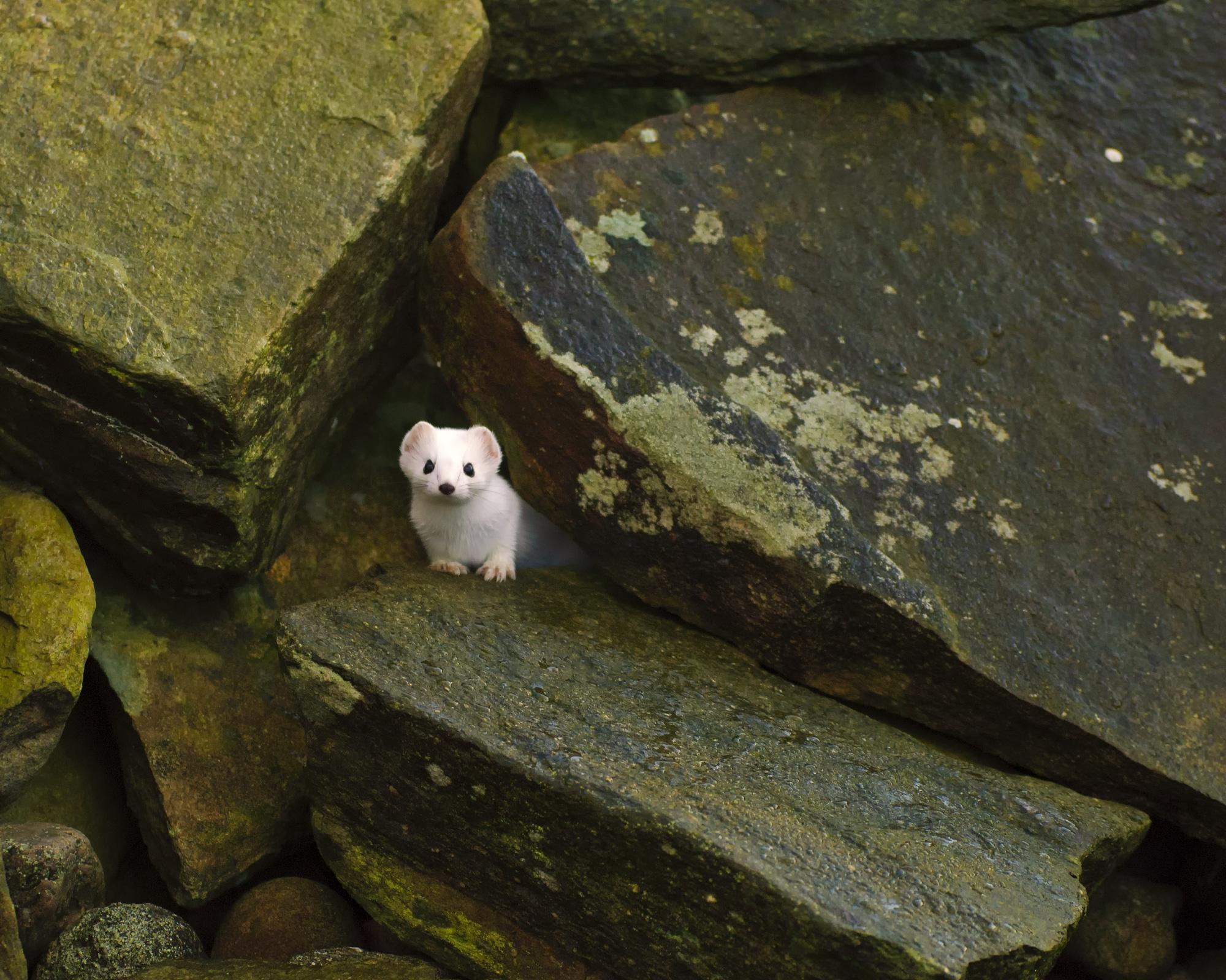 A weasel sticks its head out of a cave
