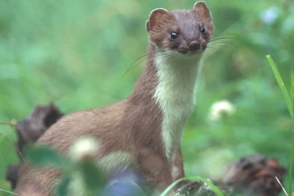 Stoat in the woods