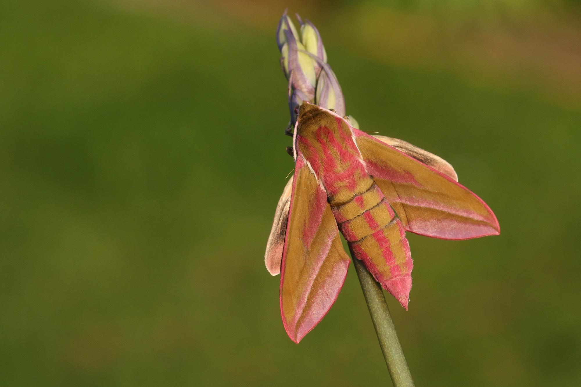 A beautiful Elephant Hawk-moth (Deilephila elpenor)