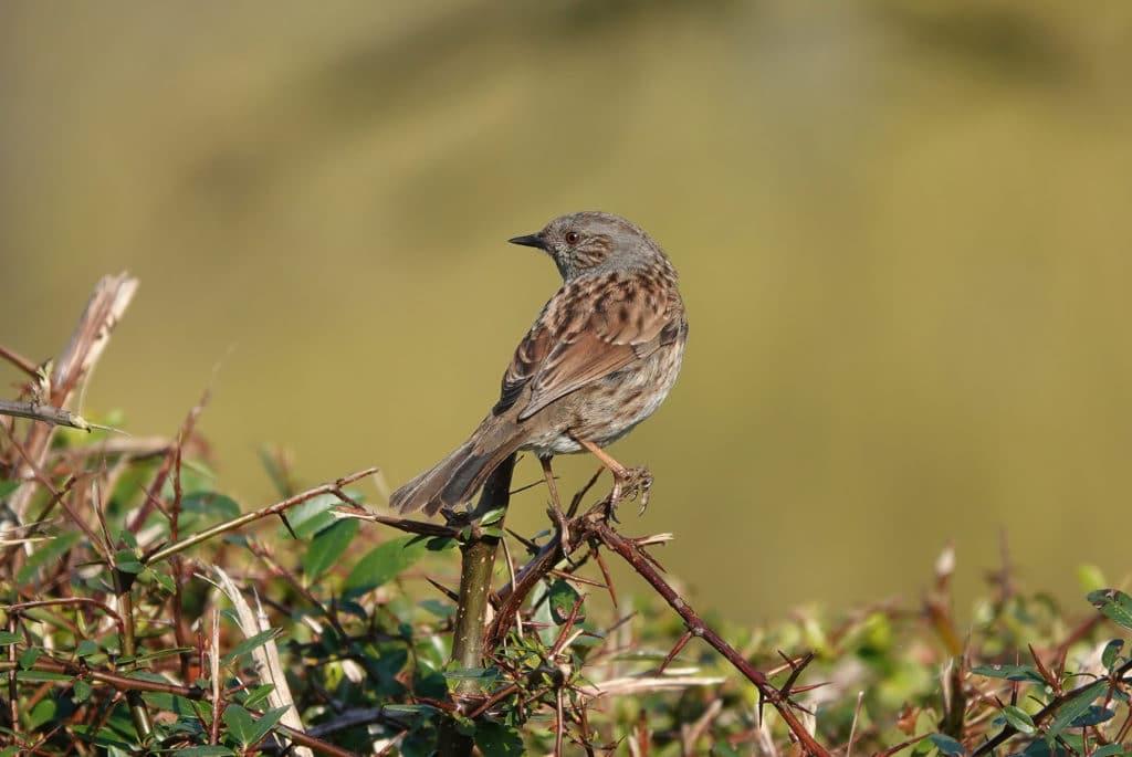 A closeup shot of a dunnock bird perched on a bush