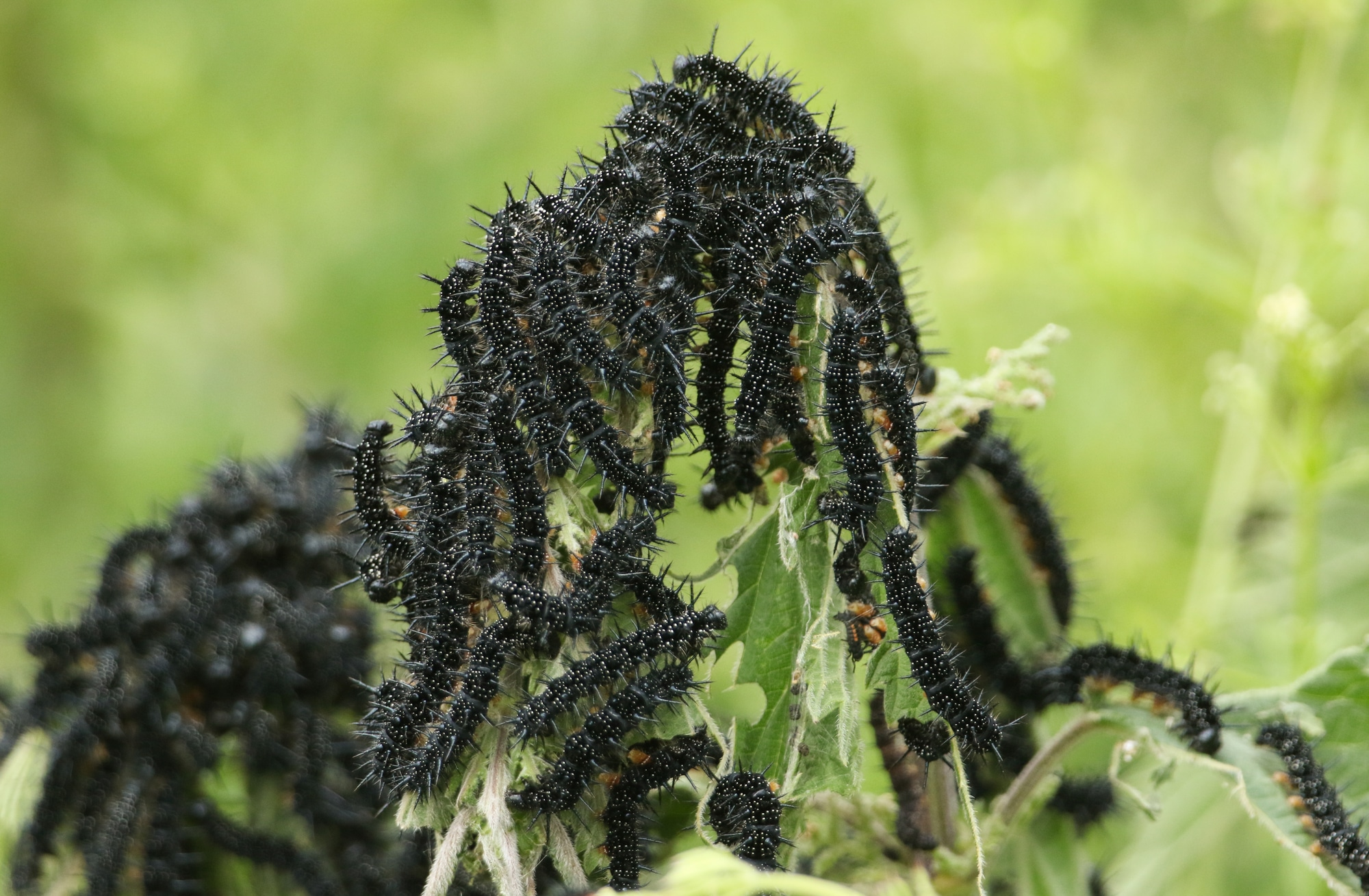A number of Peacock Butterfly Caterpillars, Inachis io, feeding on a Stinging Nettle plant in a meadow.