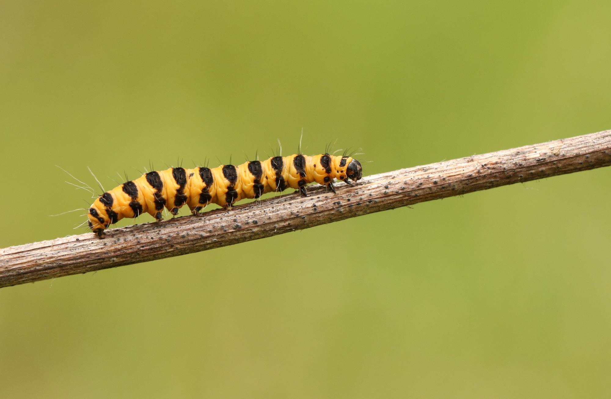 A pretty Cinnabar moth Caterpillar (Tyria jacobaeae)