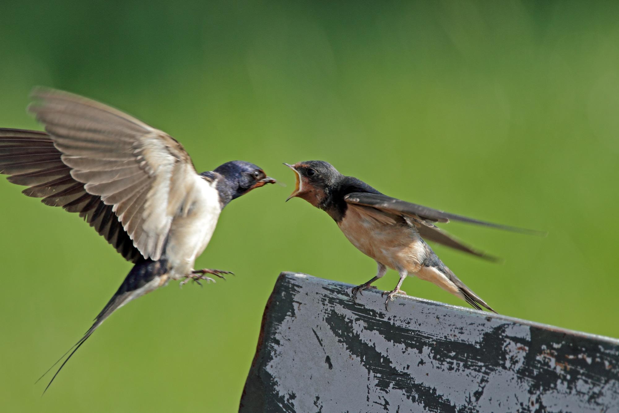 Barn Swallow feeds juvenile swallow