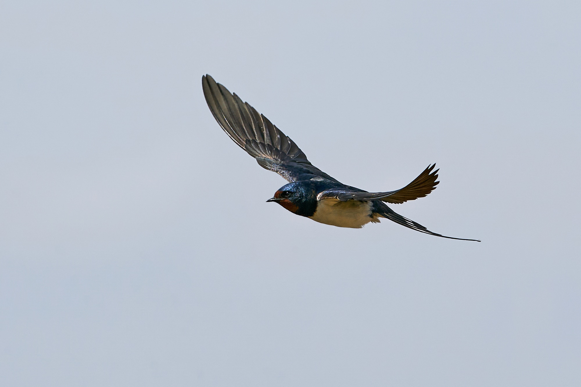 Barn swallow in flight with blue skies in the background