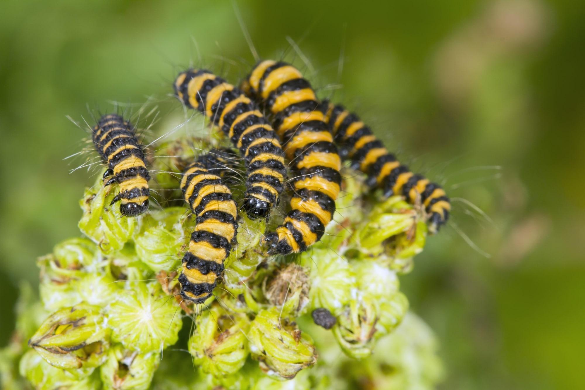 Cinnabar Moth (Tyria jacobaeae), caterpillars, feeding on Ragwort