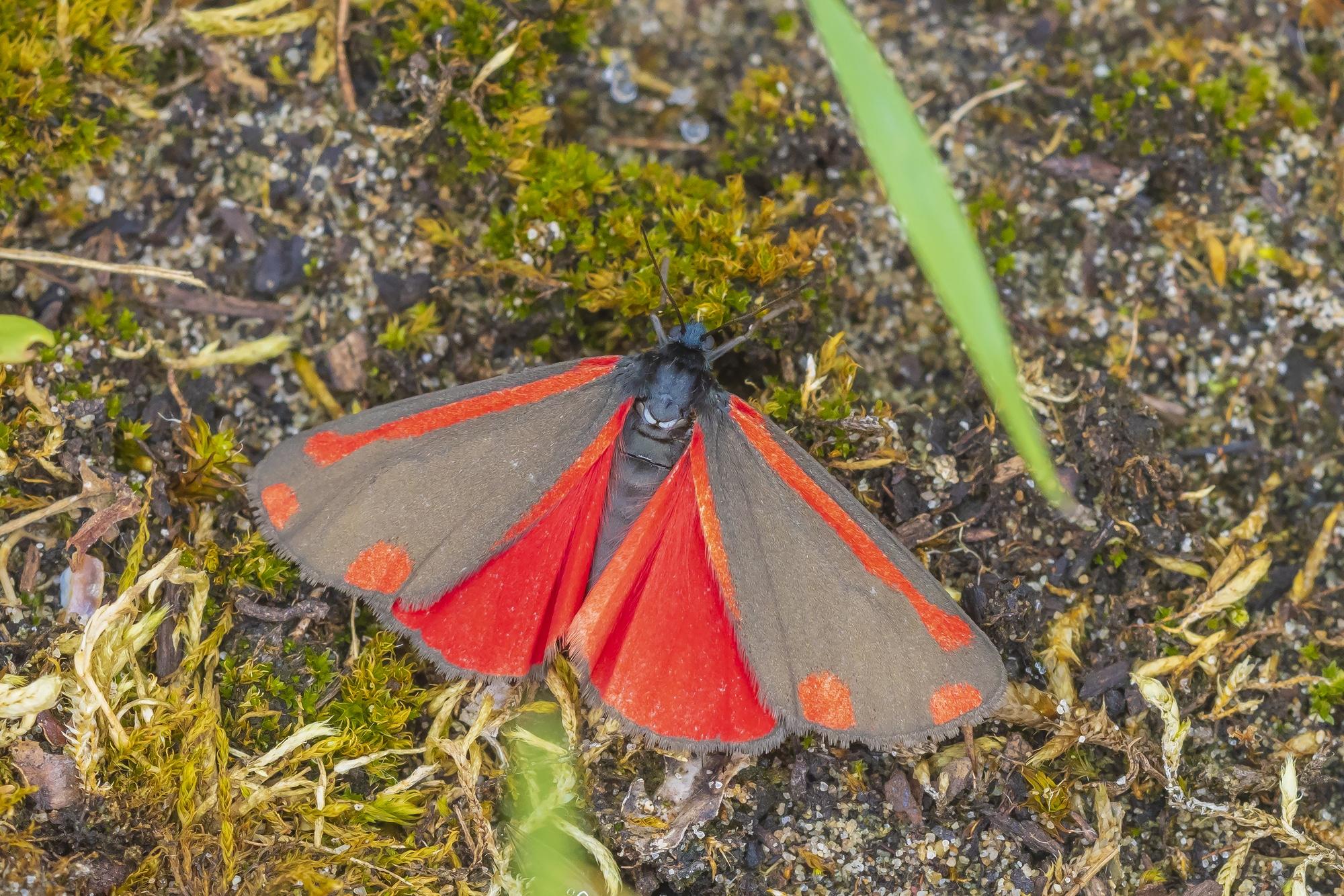 Cinnabar moth, Tyria jacobaeae, resting in a meadow