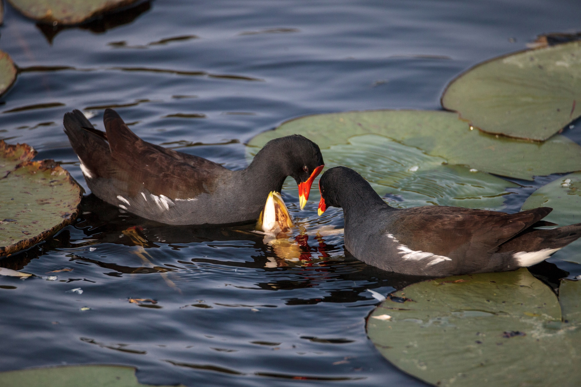 Common moorhen bird Gallinula chloropus forages for food in a