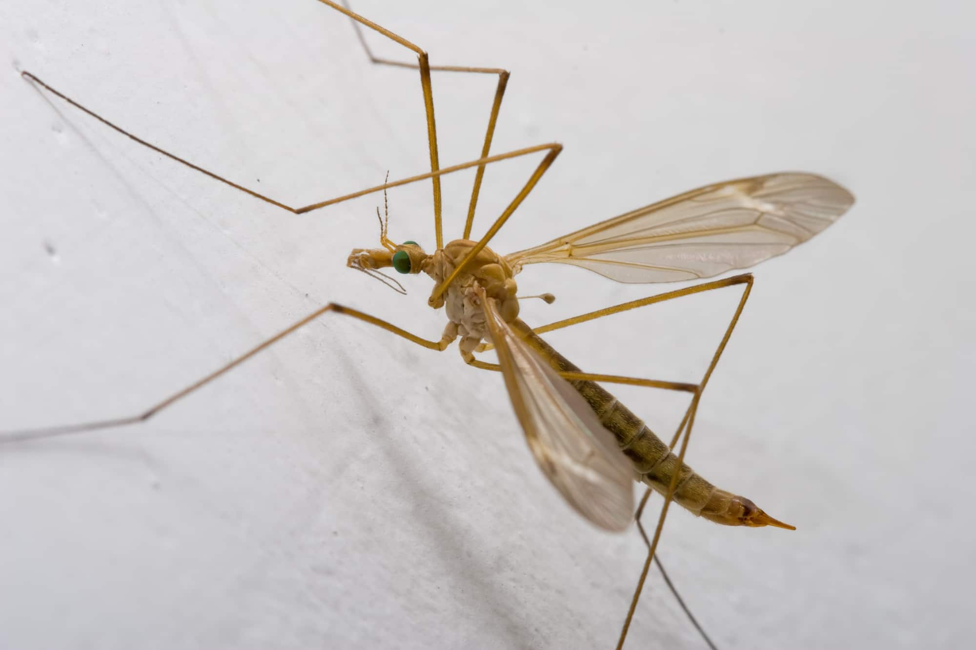 A closeup of a crane fly