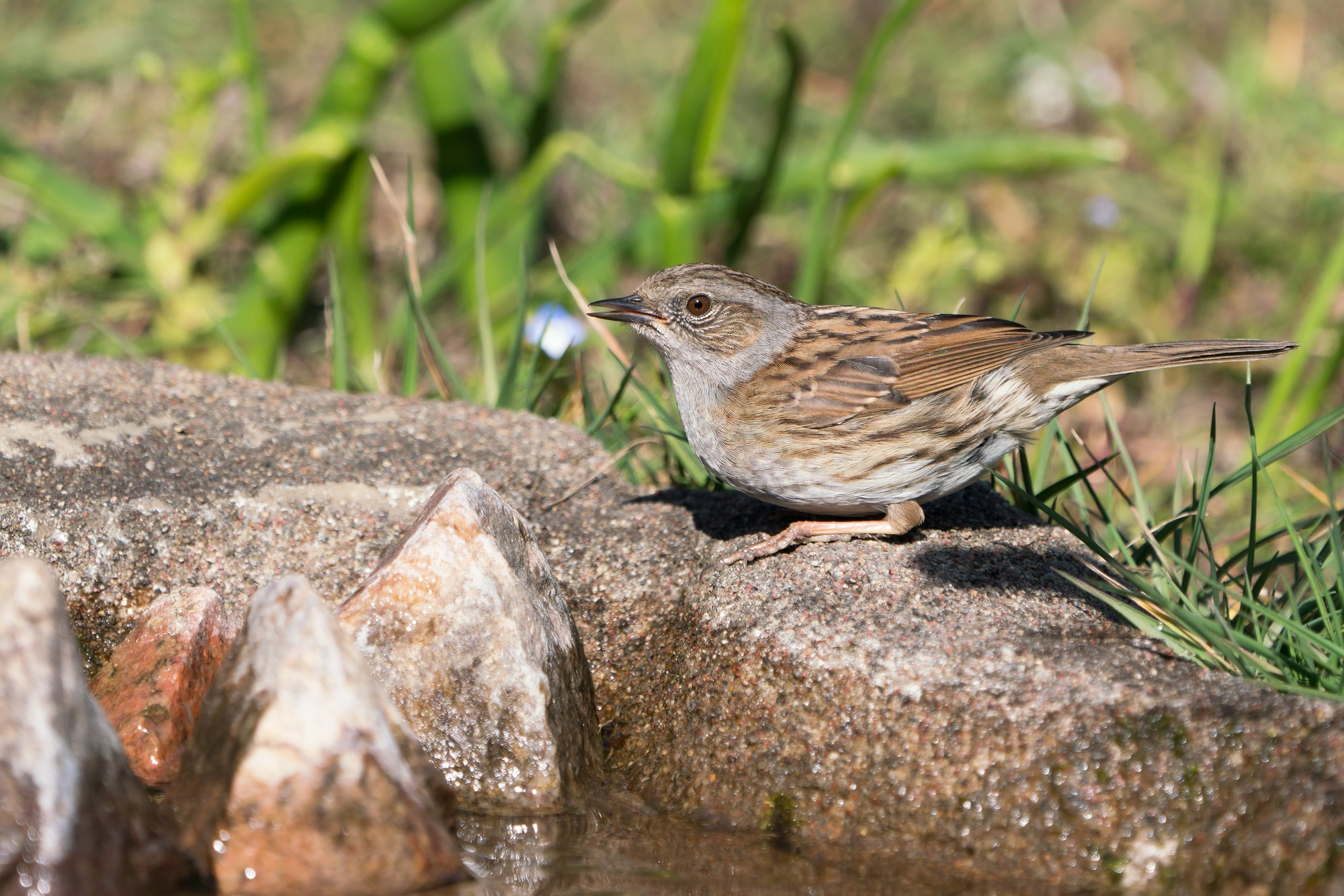 Dunnock bird sitting at the edge of water with half open beak after drinking with blurred vegetation in the background