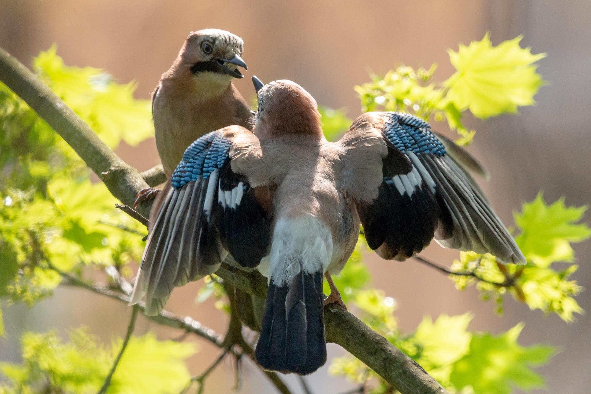 Eurasian jays mating habit. Courtship ritual of pair of jay