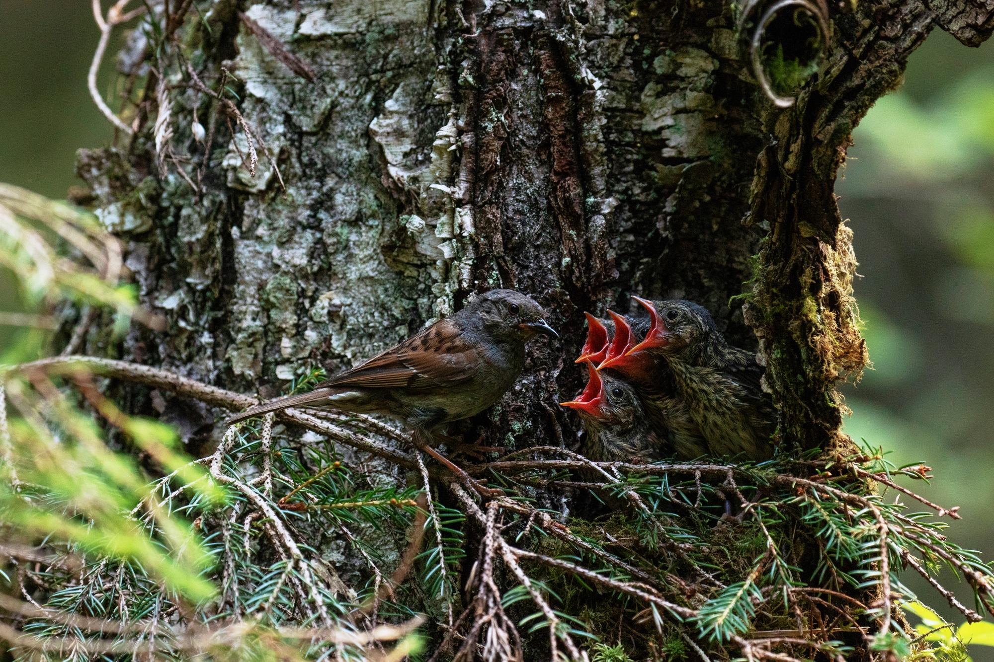 European bird Dunnock, Prunella modularis feeding its chicks