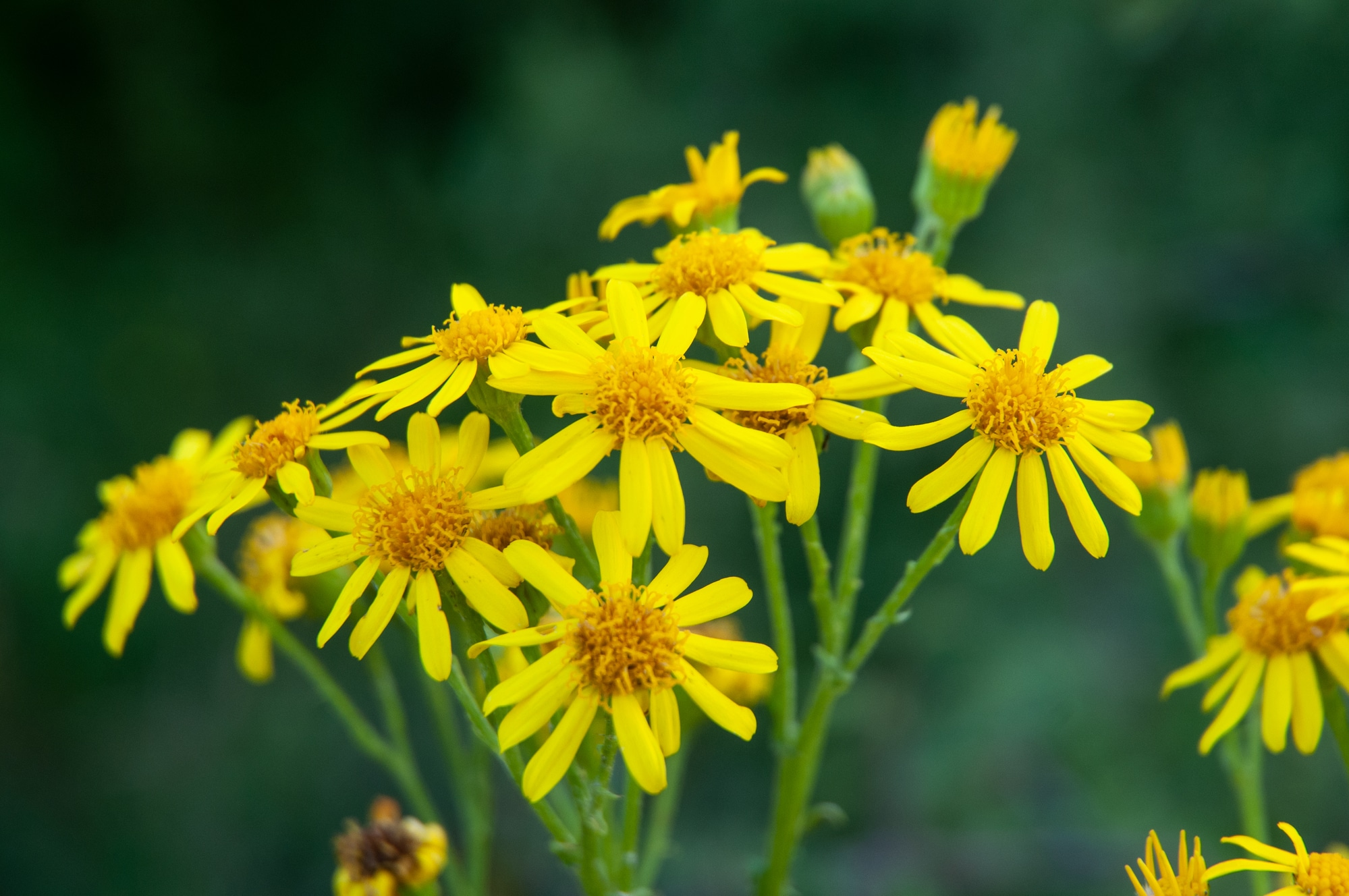 Flower cluster of a common ragwort or stinking willie