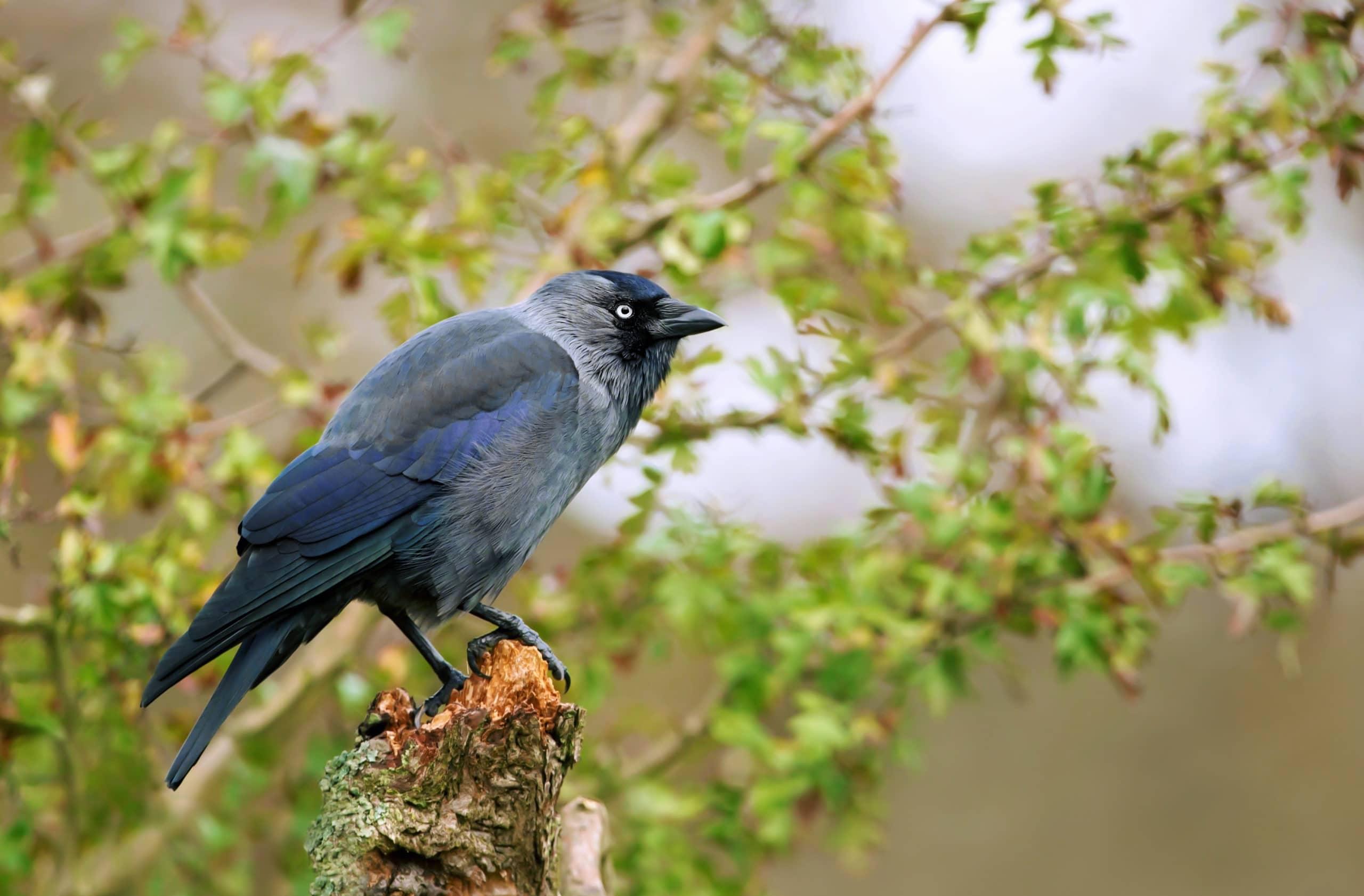 Jackdaw perching on a tree branch, UK.