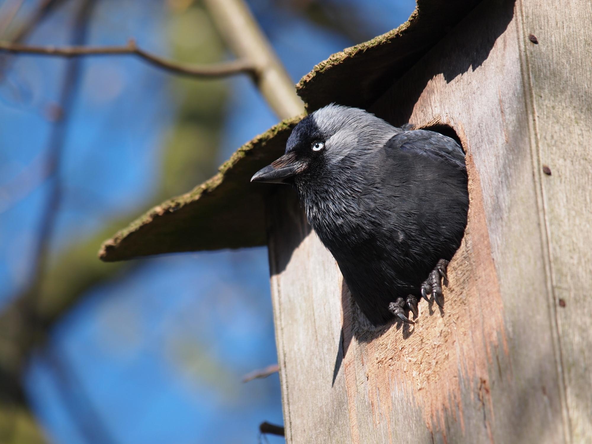 Jackdaw in nest box