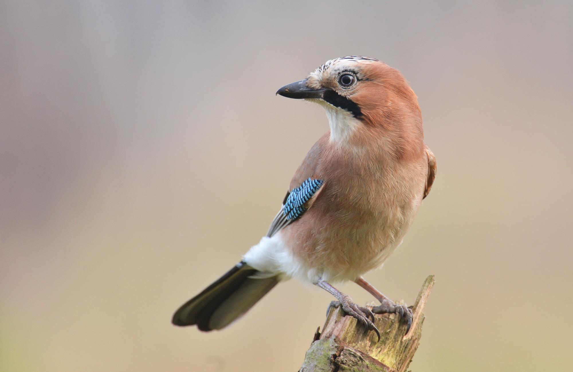 Jay bird on branch