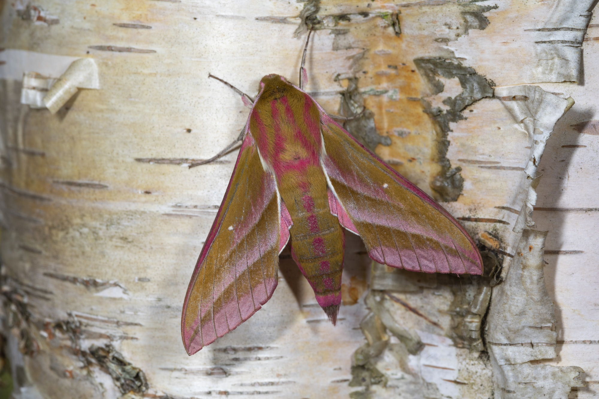 Large elephant hawk moth, deilephila elpenor on Silver birch