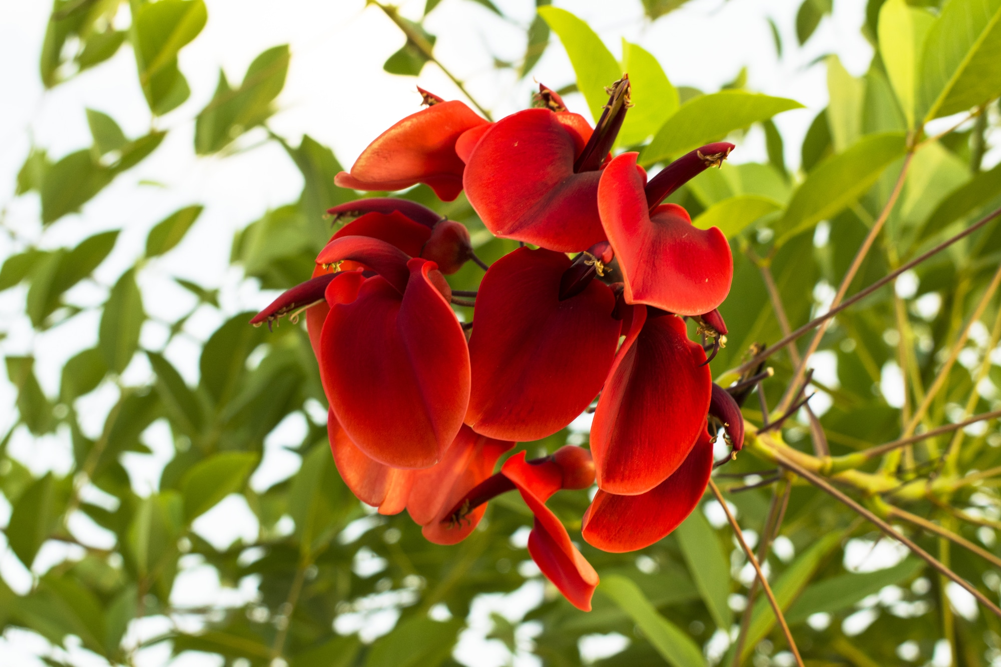 Red flower of Erythrina crista-galli (Cockspur Coral tree)