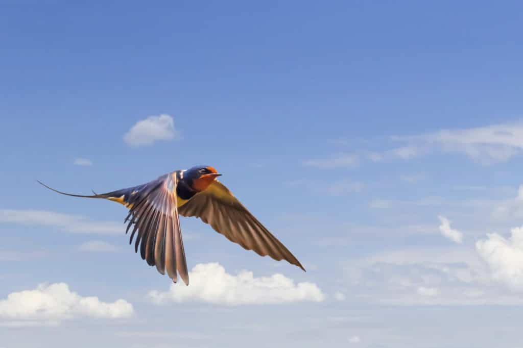 Swallow In Flight On Blue Cloudy Skies