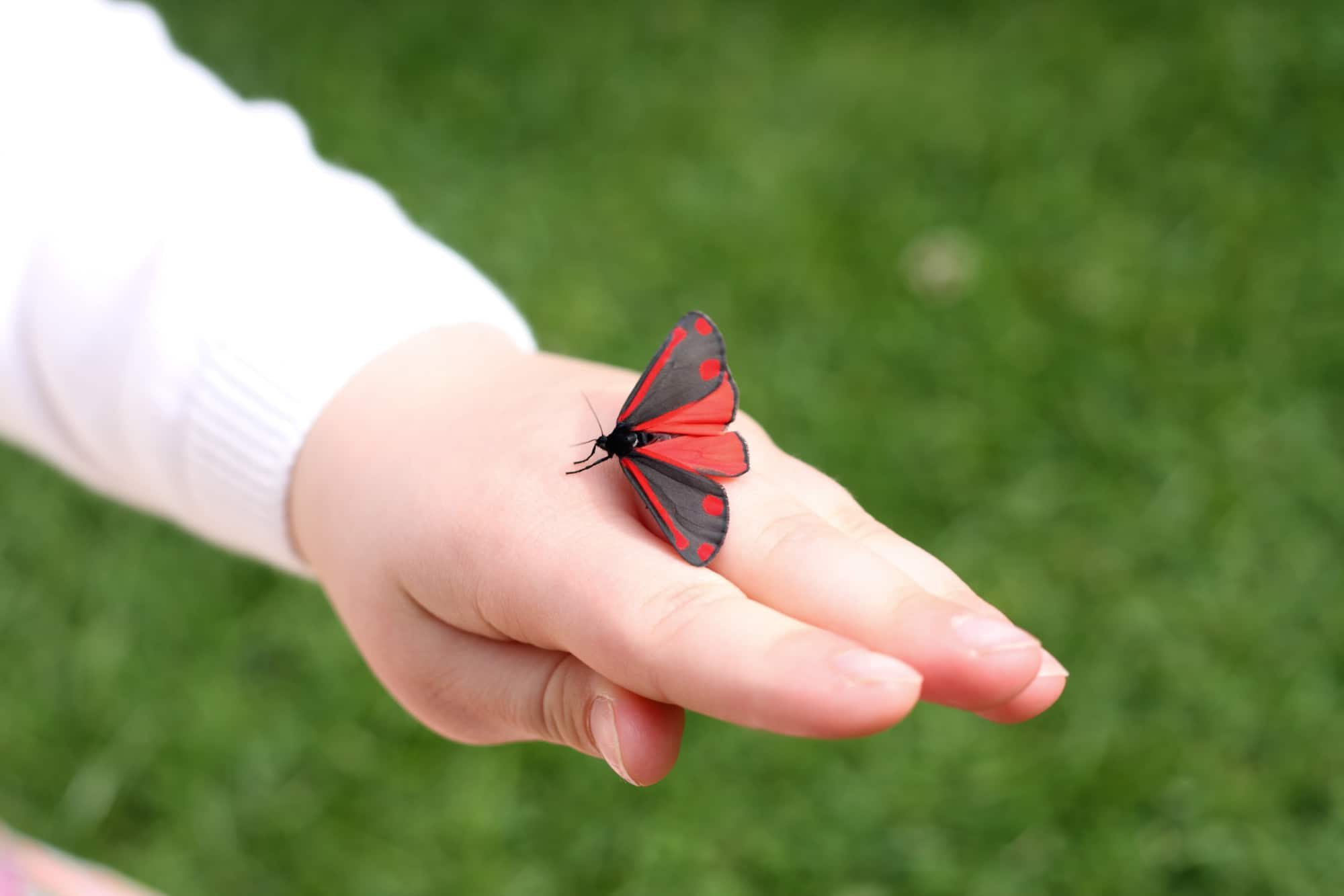 This red and black winged moth is a cinnabar moth