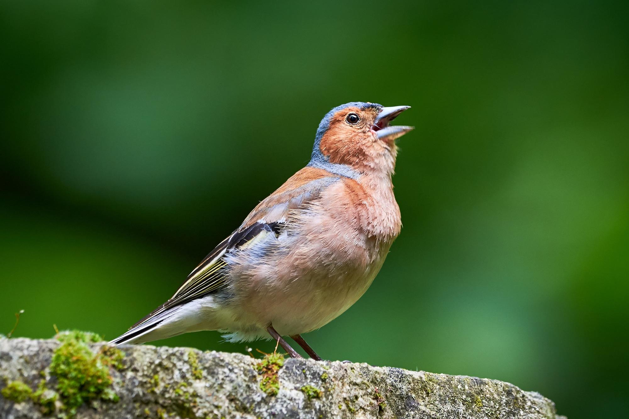 A singing chaffinch