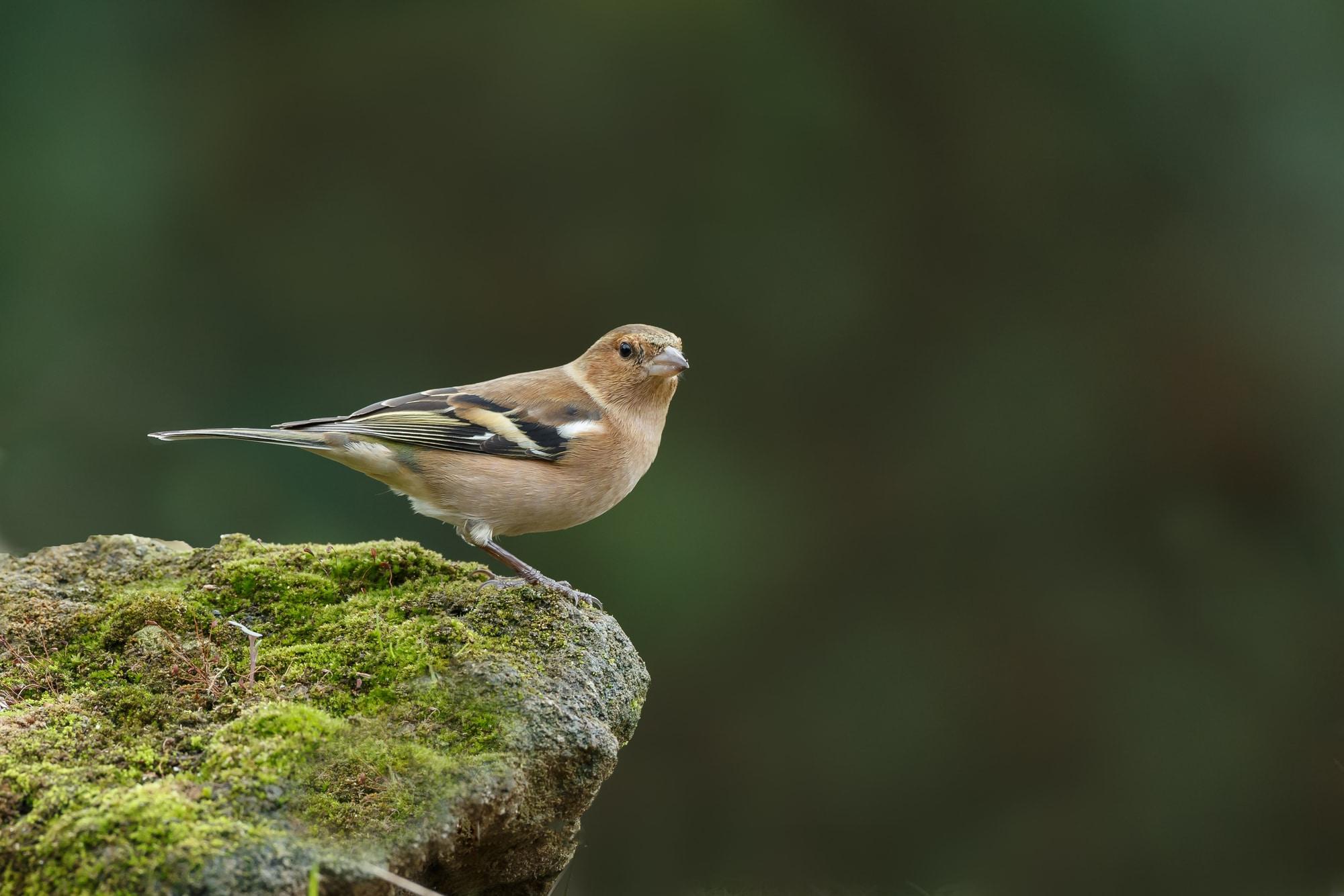 A female chaffinch on a rock edge