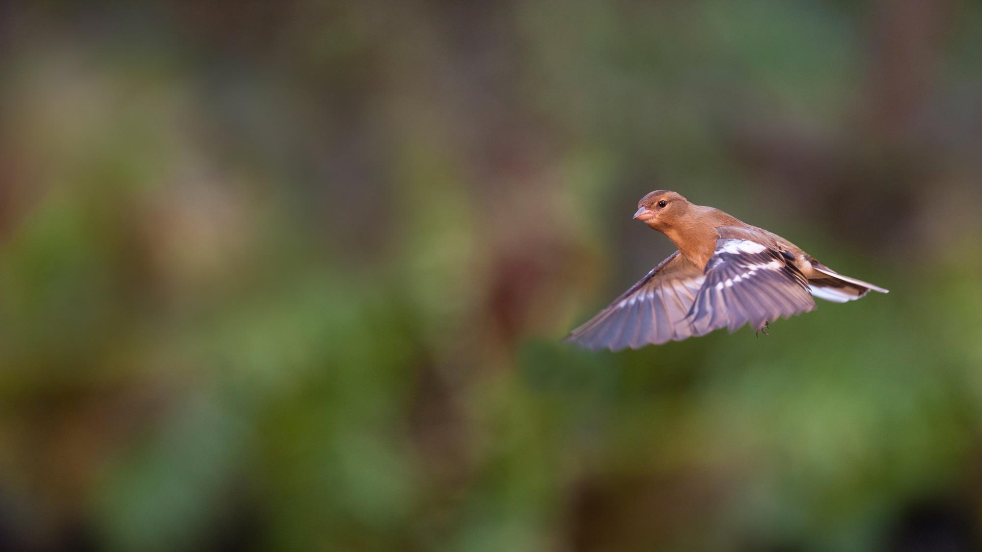 A flying chaffinch