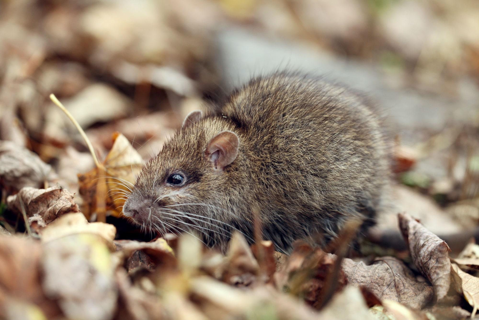 Gray rat, ferret food
