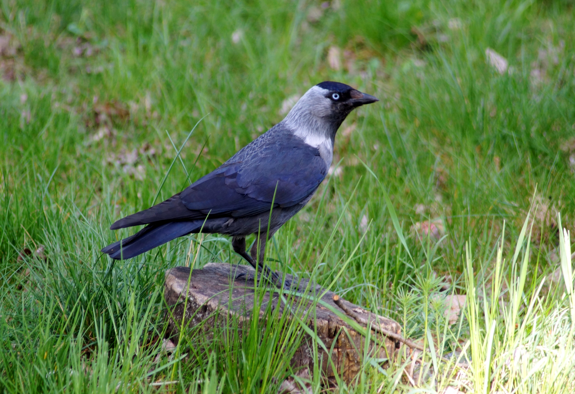 European jackdaw, is a passerine bird in the crow family.