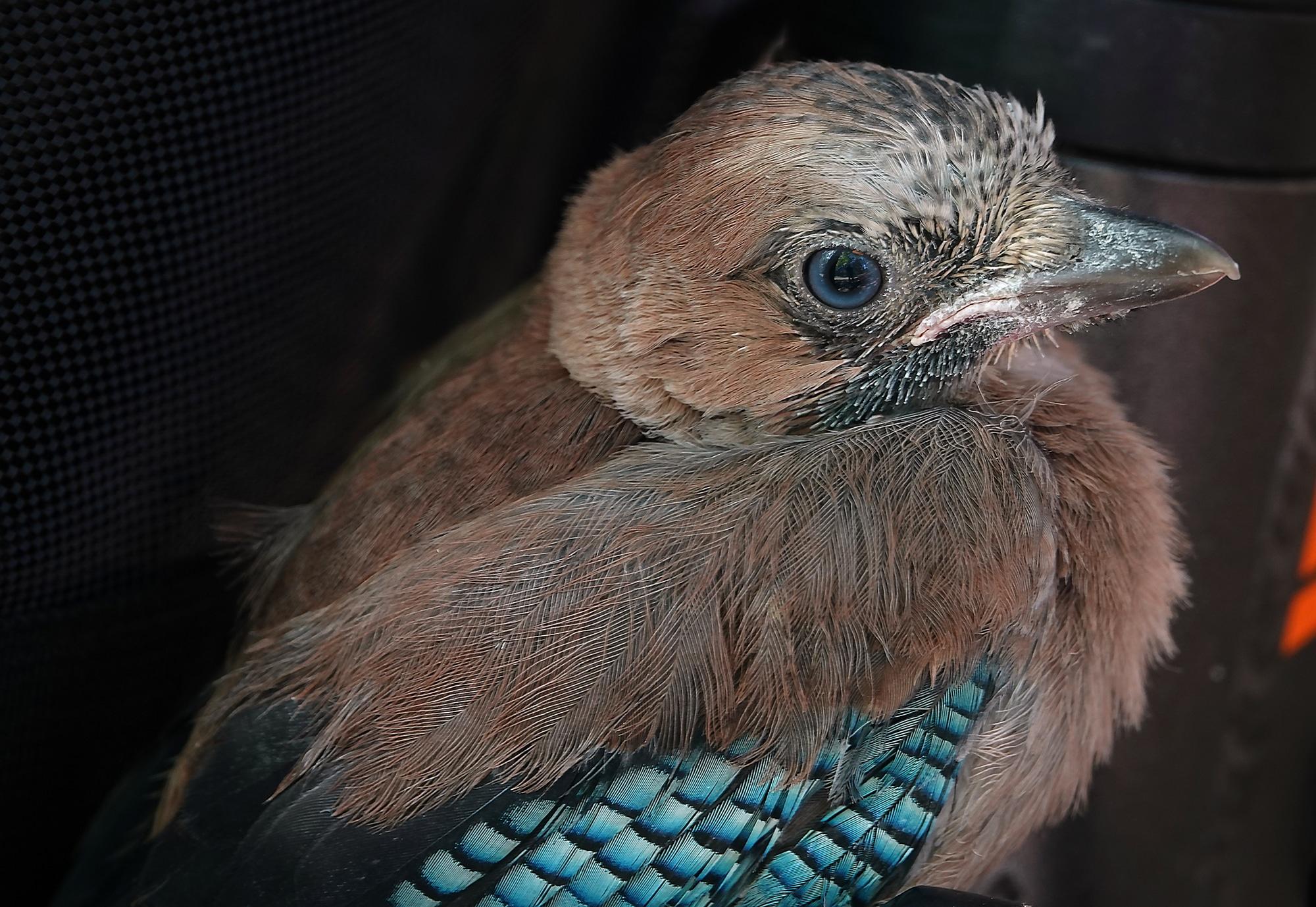 Wild bird Jay and its nest chicks