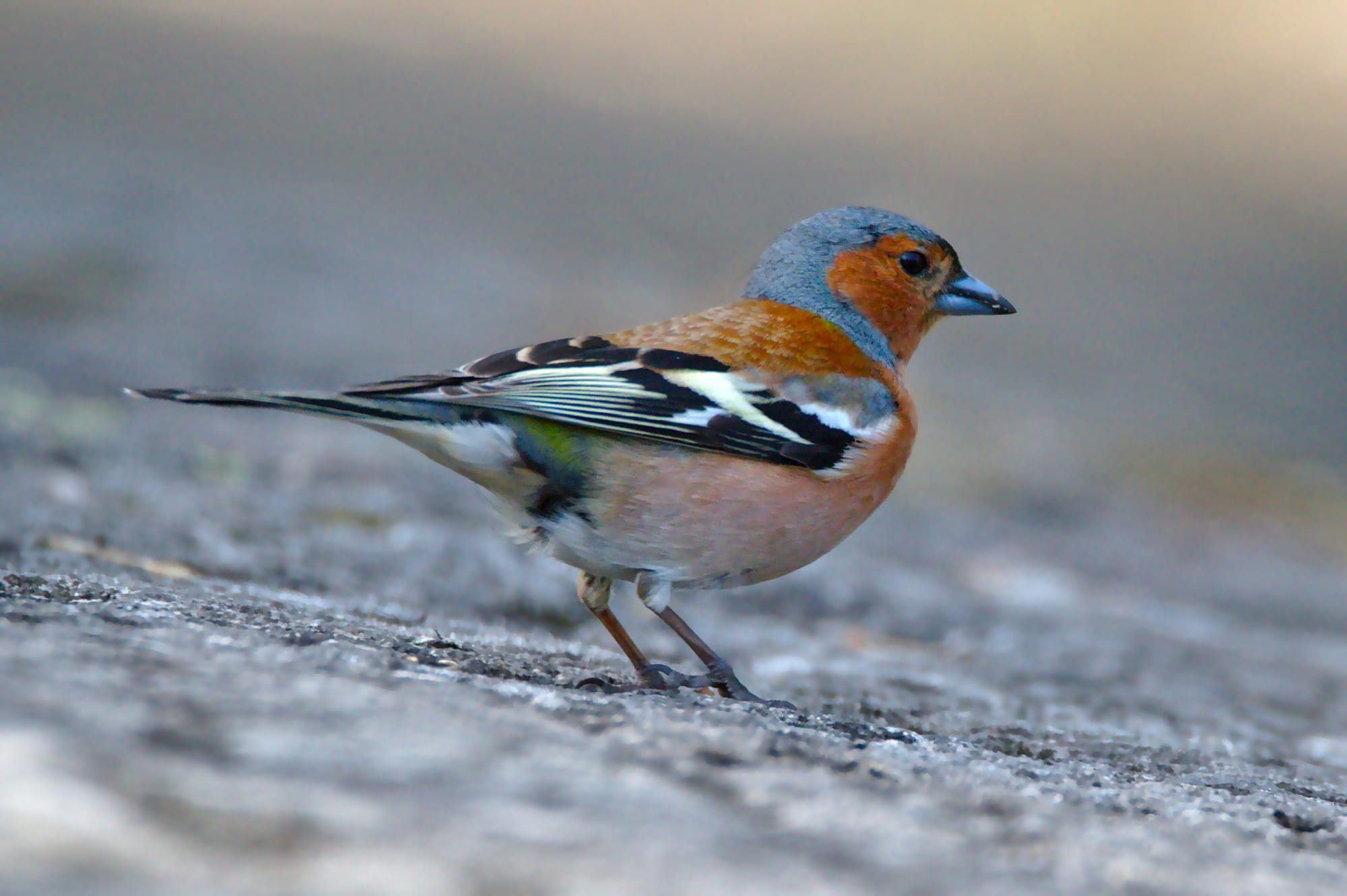 A male chaffinch on a cold winters day