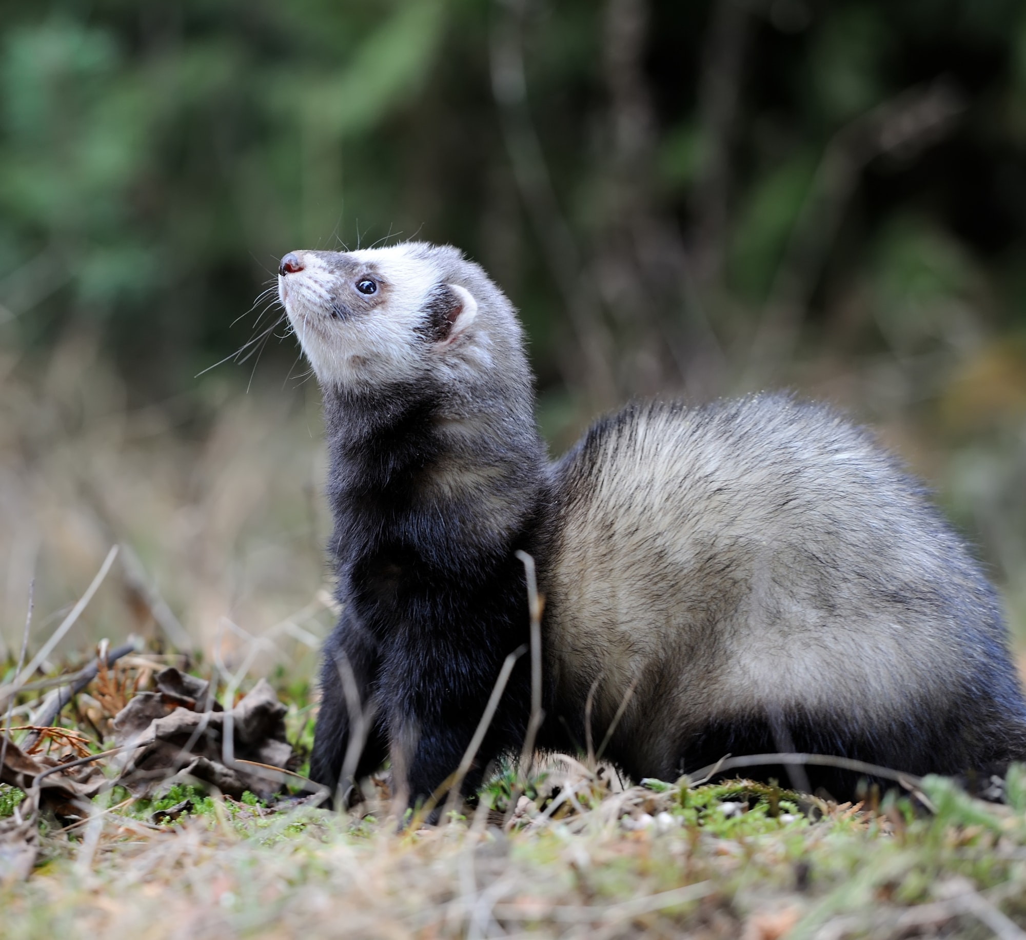 A wonderful polecat in its woodland surroundings