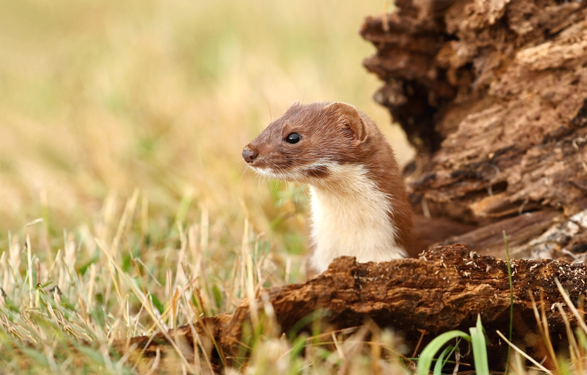 Weasel in its habitat