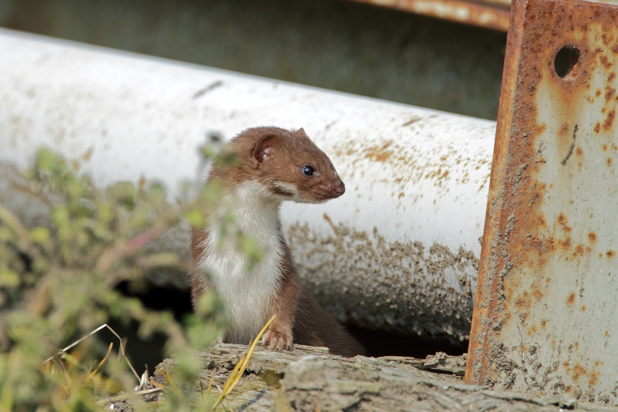 A weasel hides under some pipes