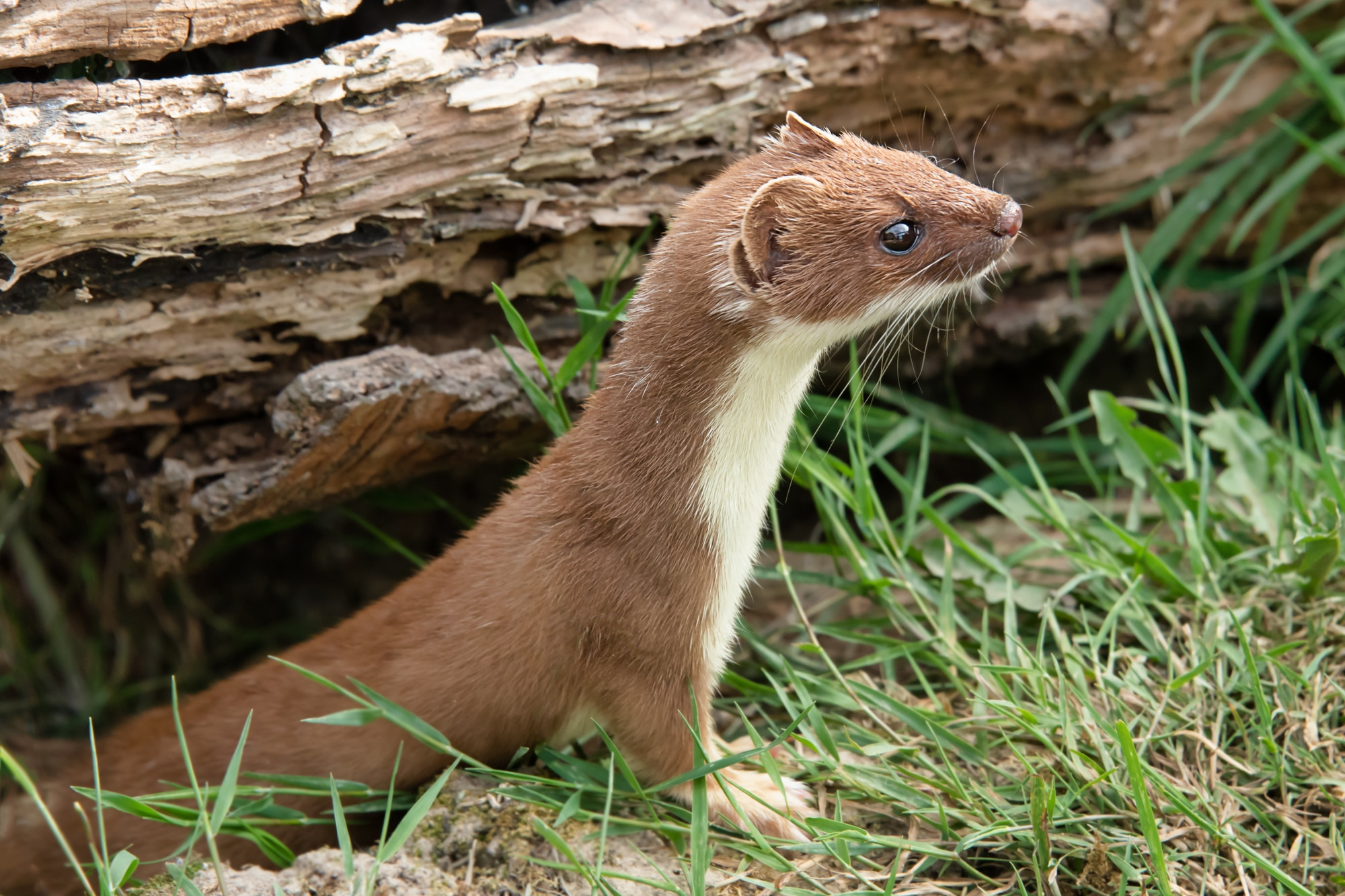 Weasel coming out of its shelter