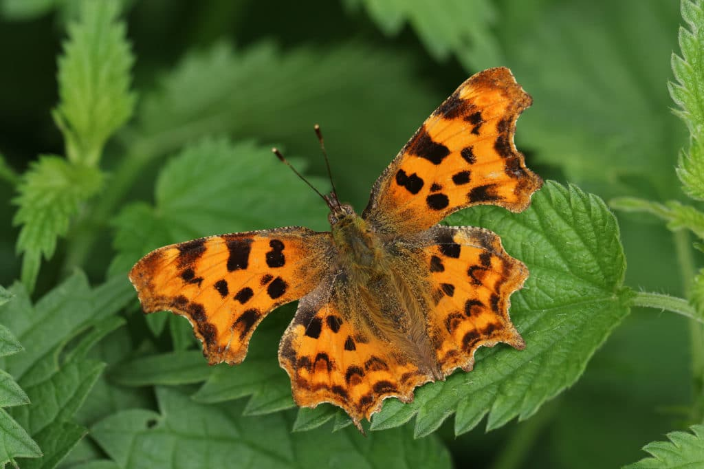 A pretty Comma Butterfly, Polygonia c-album, resting on stinging nettles