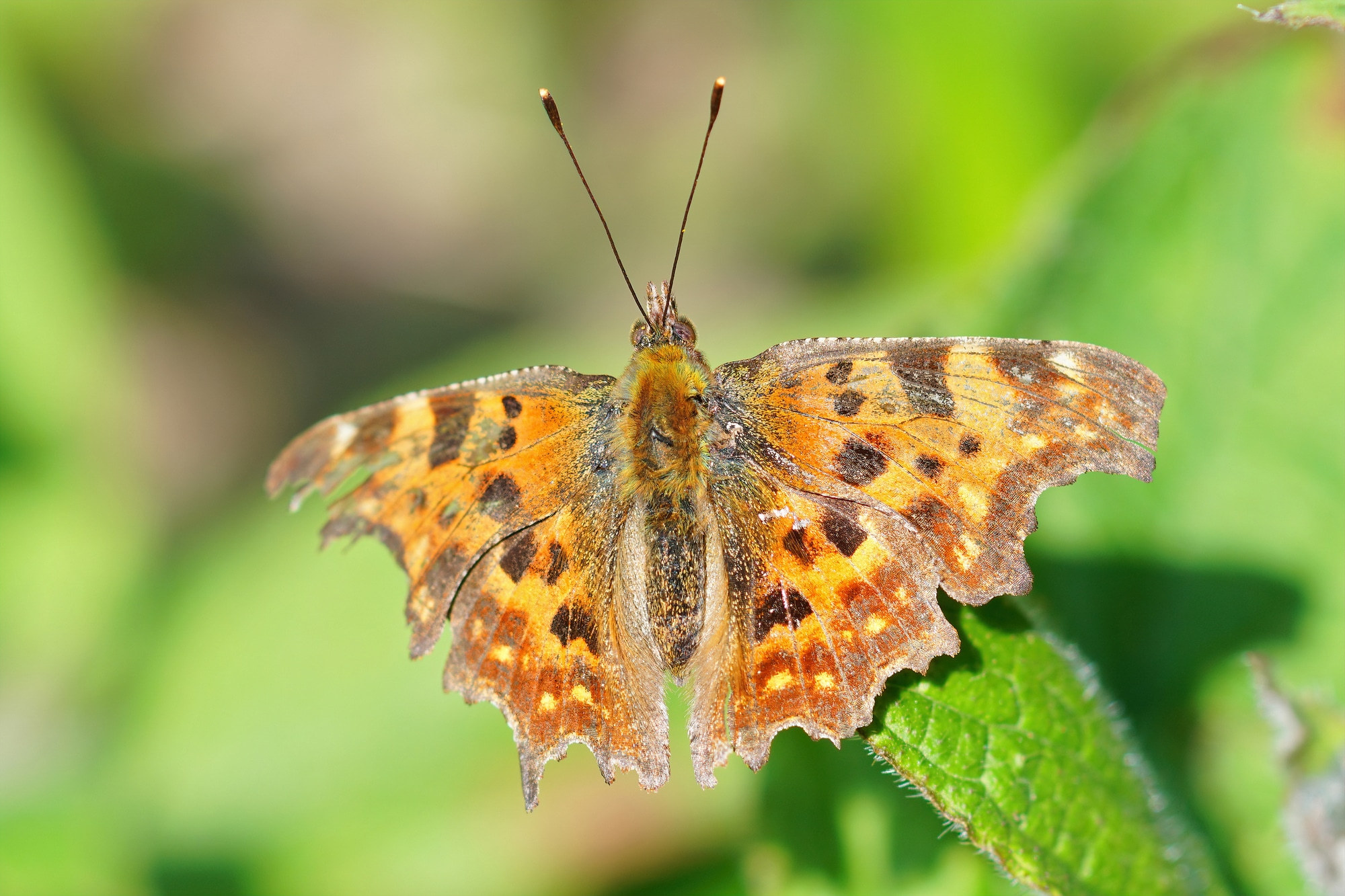 Wing upperside of the comma