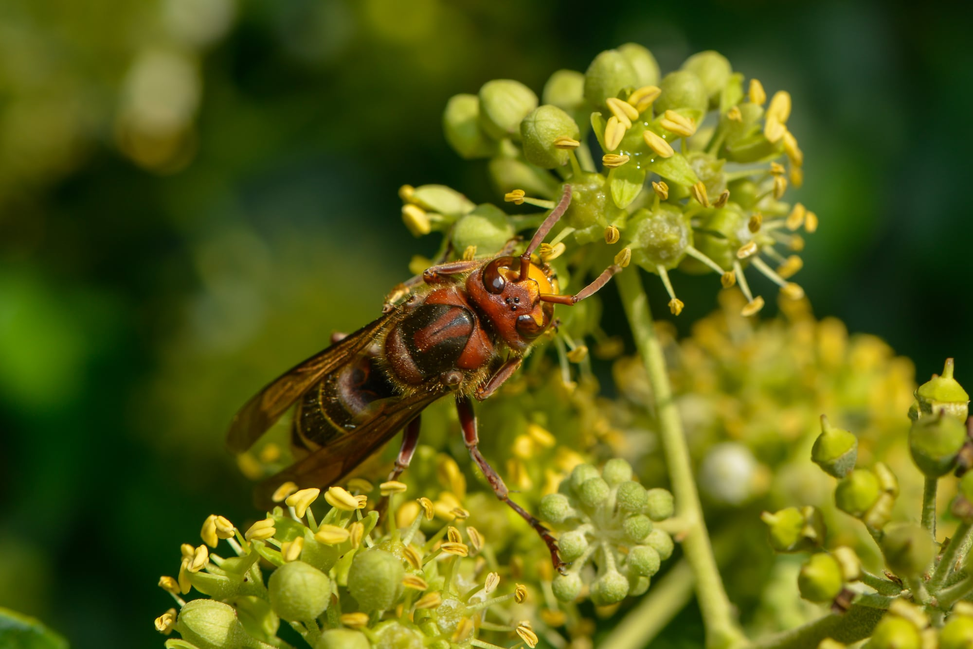 Asian hornet in the UK on an ivy blossom