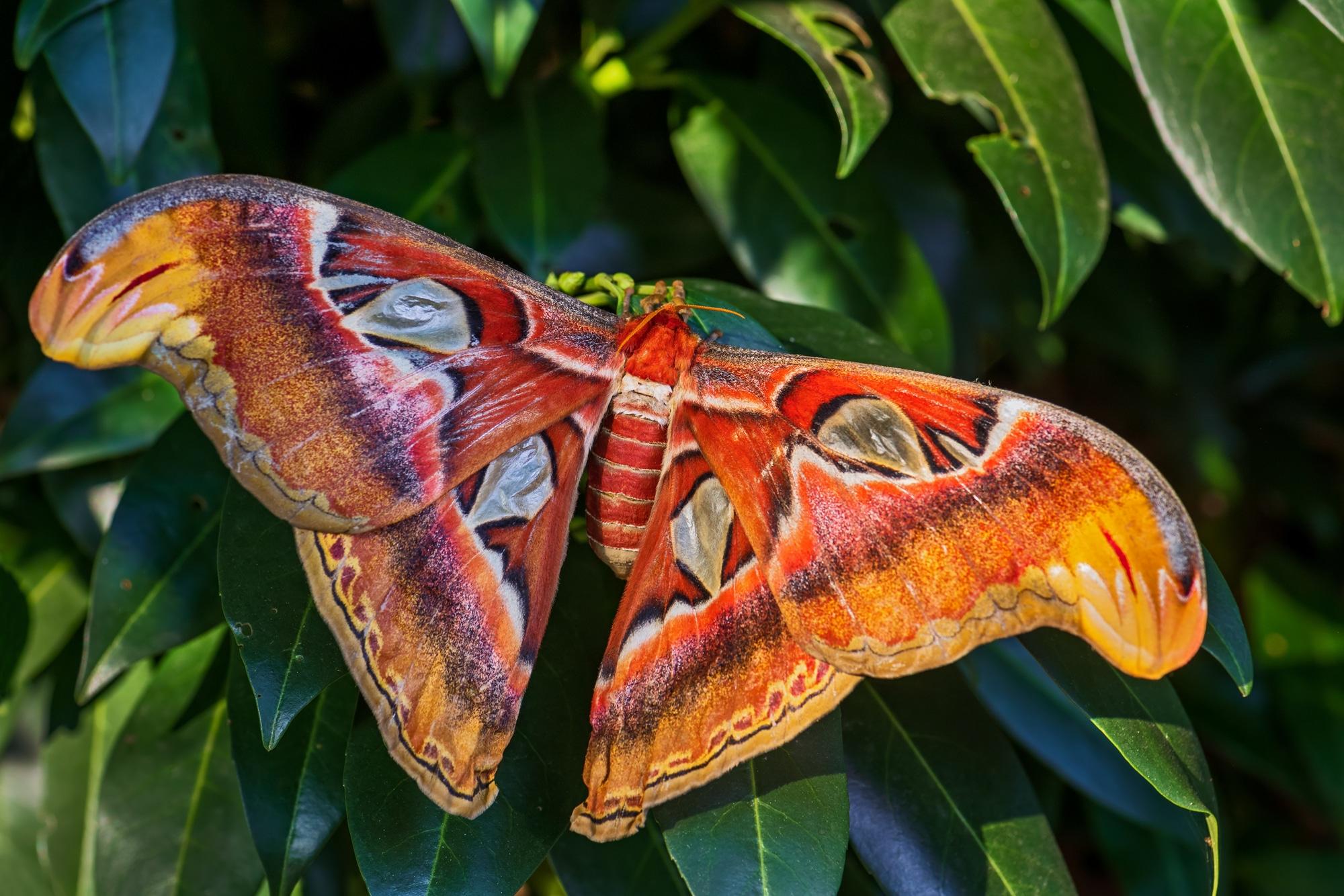 Atlas Moth - Attacus atlas, beautiful large iconic moth