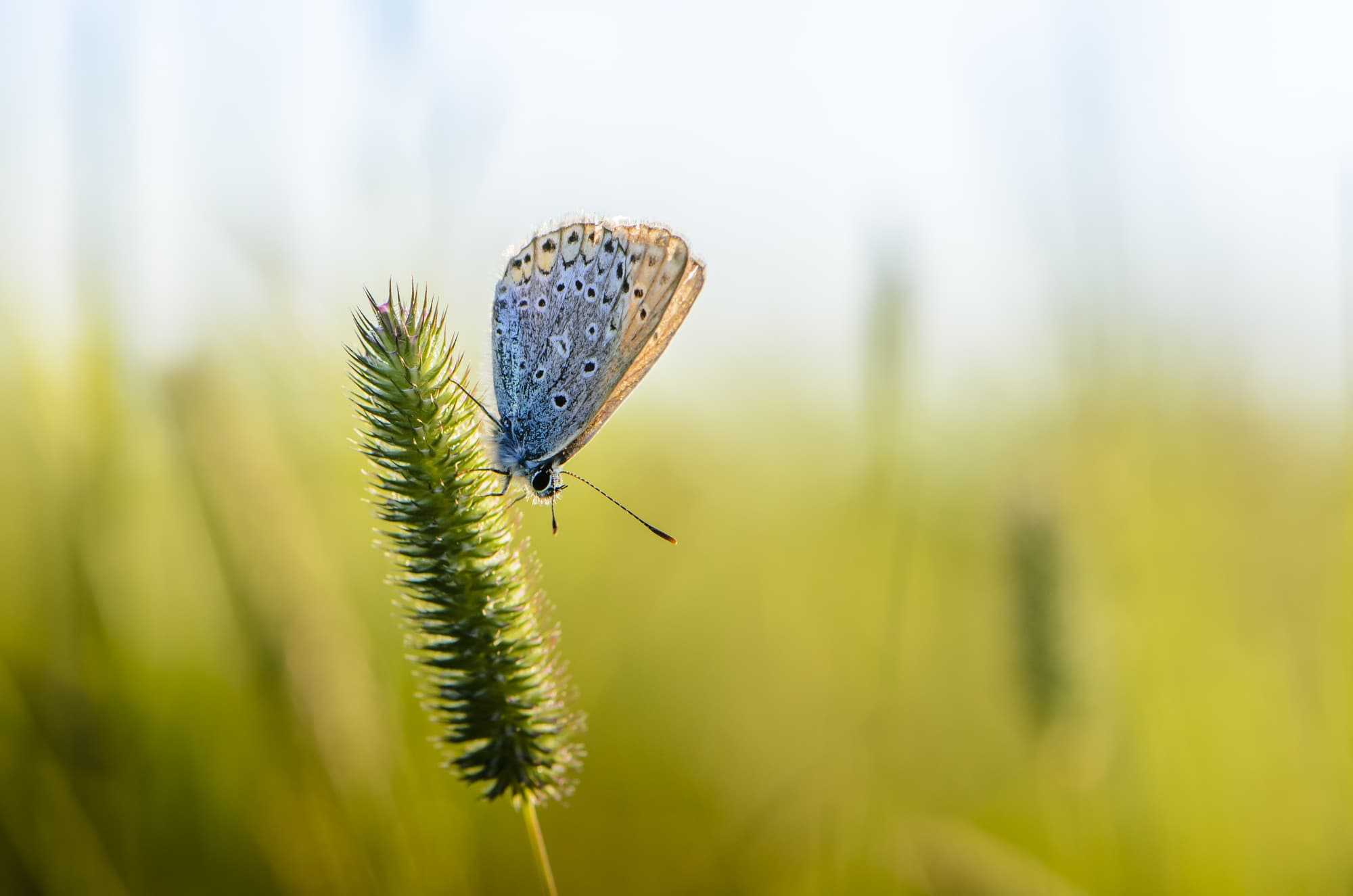 Male common blue sits on an ear of grass