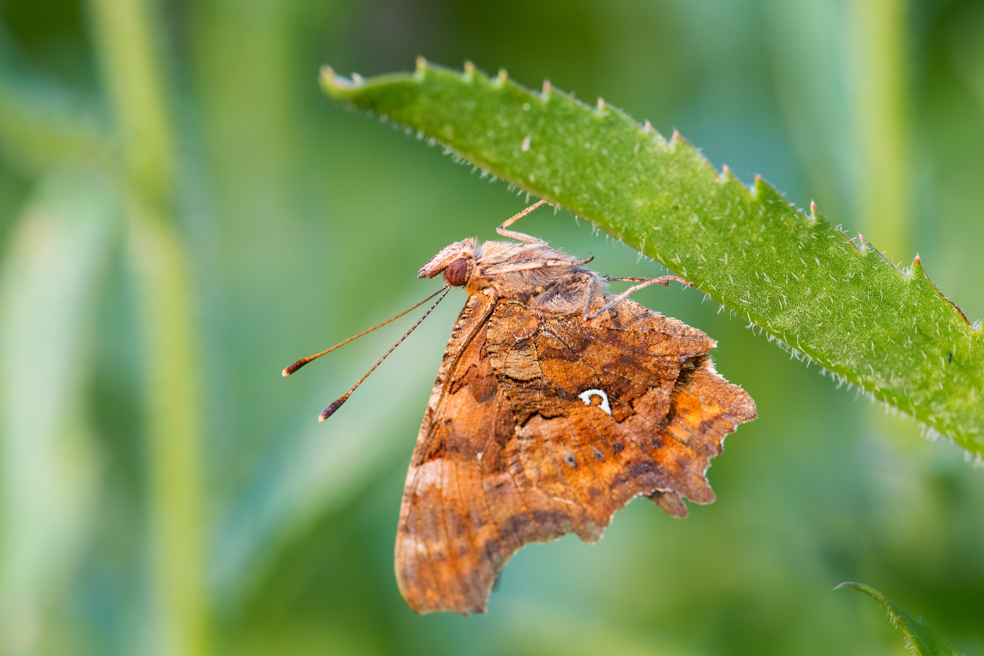 Wing underside of the comma