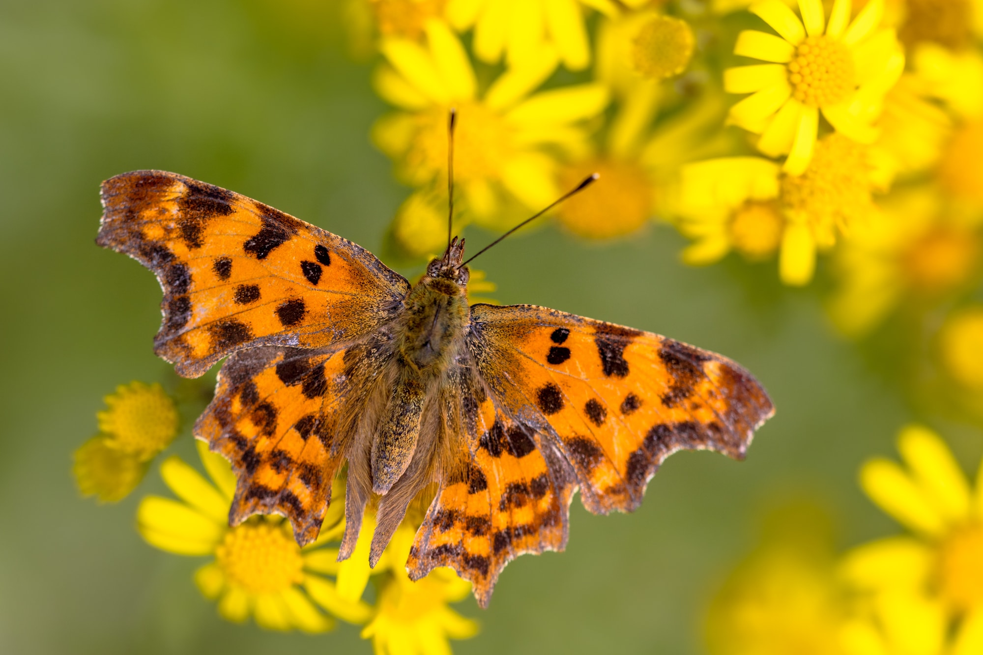 Comma butterfly (Polygonia c-album) drinking nectar on yellow flowers in the summer sun.