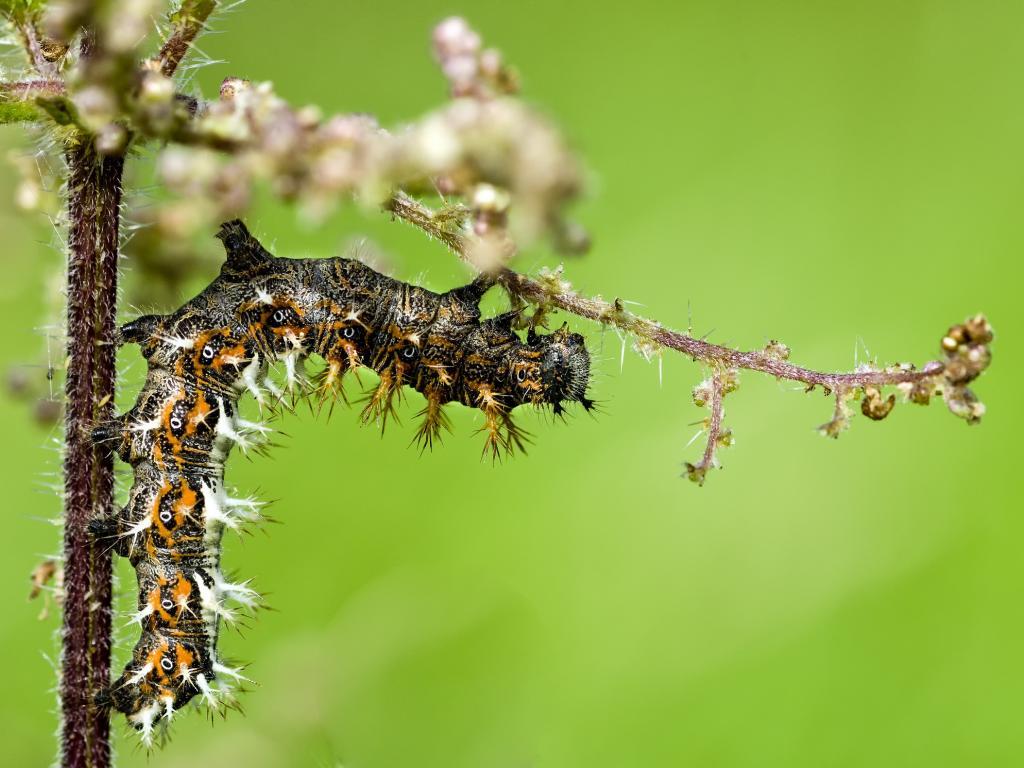 Comma butterfly caterpillar